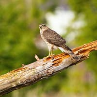 Surprised sparrowhawk sitting on bough in summer nature with copy space