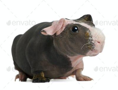 Hairless Guinea Pig standing against white background