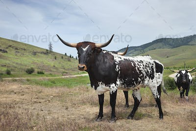 Young longhorn cow with others in a field in Montana