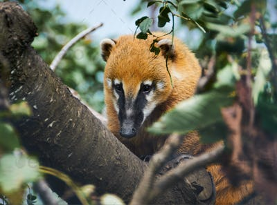 South American Coati (nasua nasua) in nature