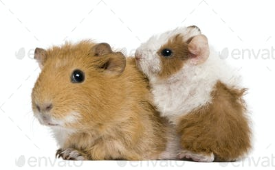 Mother Guinea Pig and her baby against white background
