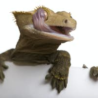 New Caledonian Crested Gecko licking eye against white background