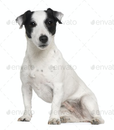 Jack Russell terrier, 7 years old, sitting in front of white background