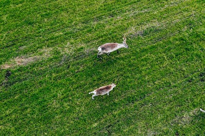 Aerial view of Reindeers in green field in summer season in Finland Lapland.