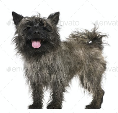 Mixed-breed, 3 years old, standing in front of white background