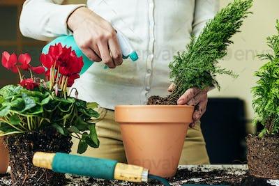 Woman's hands transplanting plant.