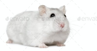 Hamster, 6months old, in front of white background