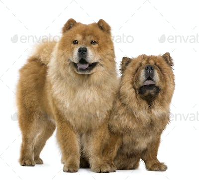 Chow chow, 5 and 6 years old, standing in front of white background