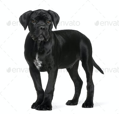 Cane corso puppy, 3 months old, standing in front of white background