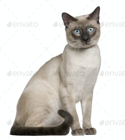 Siamese cat, 8 months old, sitting in front of white background