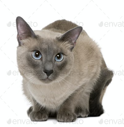 Siamese, 3 years old, lying in front of white background
