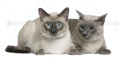 Siamese cat, 3 years old and 8 months old, lying in front of white background