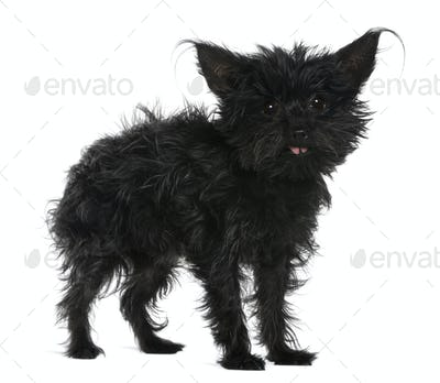 Chihuahua, 11 years old, with tousled hair standing in front of white background