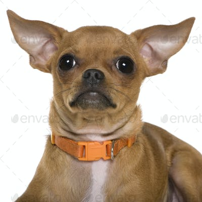 Chihuahua, 6 months old, close up against white background