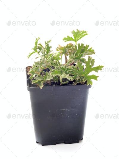 Pelargonium capitatum  in studio
