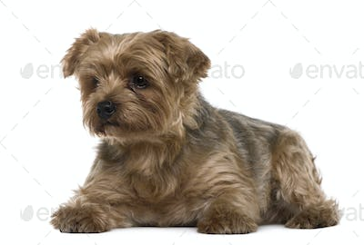Yorkshire terrier, 6 years old, lying in front of white background
