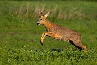 Fast roe deer buck loosing fur and jumping while running in spring nature