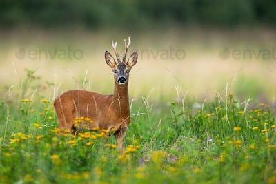 Alert roe deer buck blind on one eye looking into camera on green summer meadow