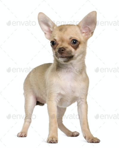 Chihuahua puppy, 5 months old, standing in front of white background