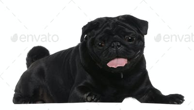 Pug, 2 years old, lying in front of white background