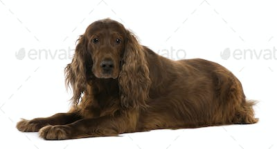 Irish setter, 8 years old, lying in front of white background
