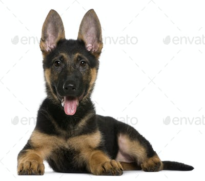 German shepherd puppy, 3 months, lying in front of white background
