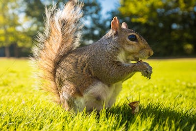 Grey squirrel eating a nut on a grass in the park, London