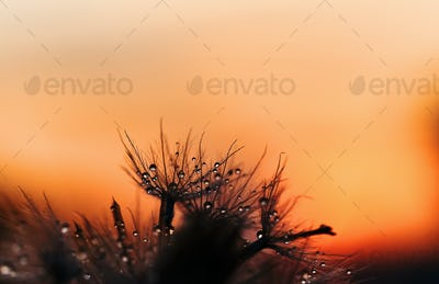 Dry flower and dewdrops in nature