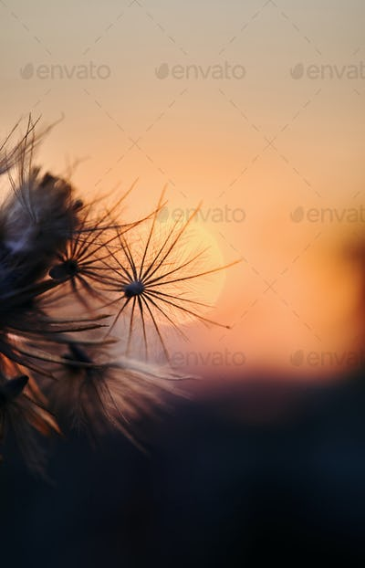 Dry fluffy flower with sunset sky