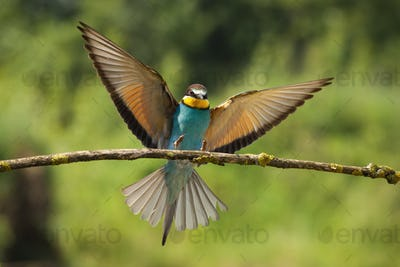 Exotic european bee-eater landing on twig in green summer nature
