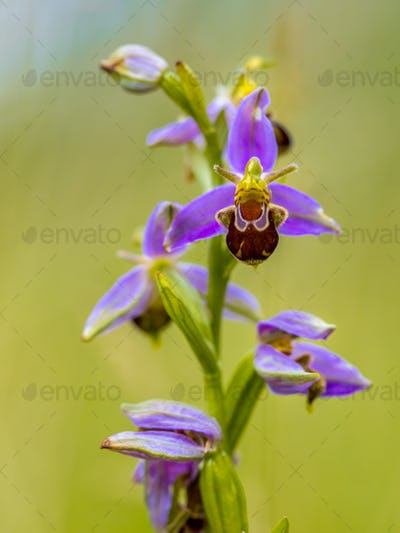 Bee orchid Bunch of Pink flowers