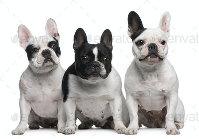 Group of French Bulldogs sitting in front of white background