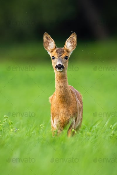 Alert roe deer fawn standing in green grass and looking in camera