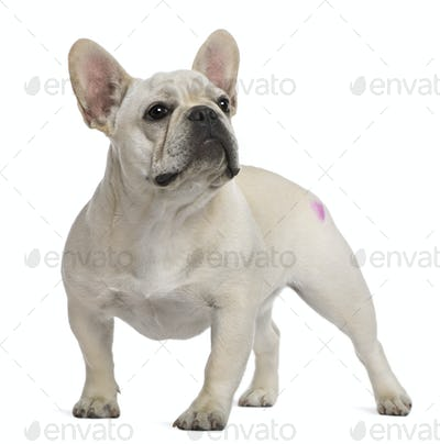 French Bulldog, 12 months old, with tattoo standing in front of white background