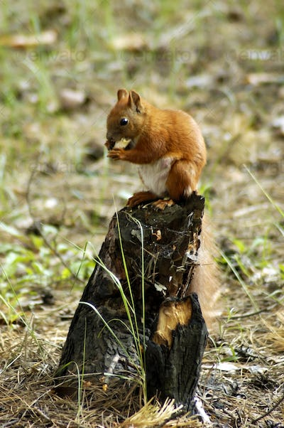 Squirrel fur funny pets autumn forest on background
