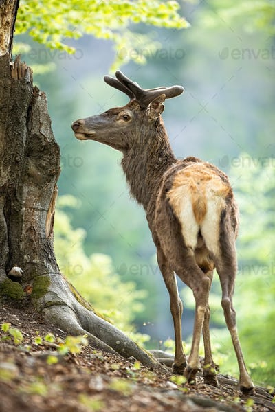 Male red deer stag in old forest from back view looking aside