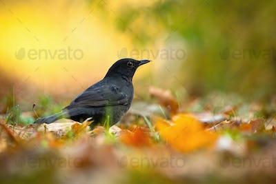 Small common blackbird female sitting on the ground between orange leafs