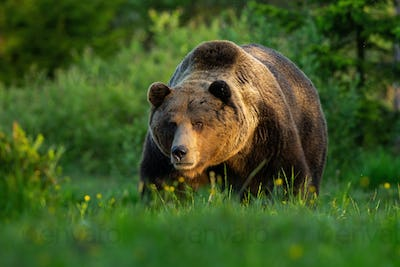 Huge brown bear male standing on a meadow looking forward in summer at sunset