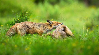 Adult red fox holding dead roe deer doe by neck on meadow with green grass