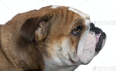 Close-up of English Bulldog, 18 months old, in front of white background