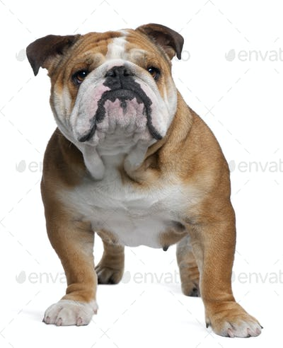 English Bulldog, 18 months old, standing in front of white background