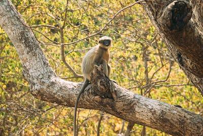 Kanica, Goa, India. Gray Langur Monkey Sitting On Branch Of Tree
