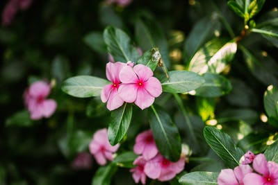 Goa, India. Blooming Pink Flowers Of Catharanthus Roseus In Garden