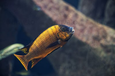 close up on Iodotropheus sprengerae fish