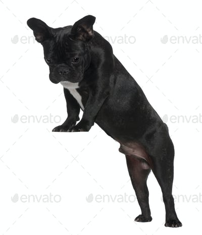 French Bulldog puppy, 7 months old, standing near red crate in front of white background
