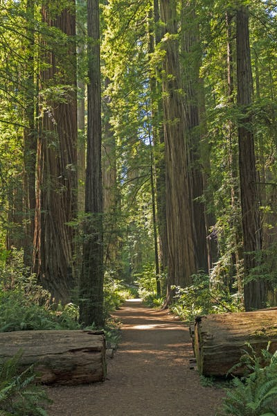 Misty Trail Through the Redwoods