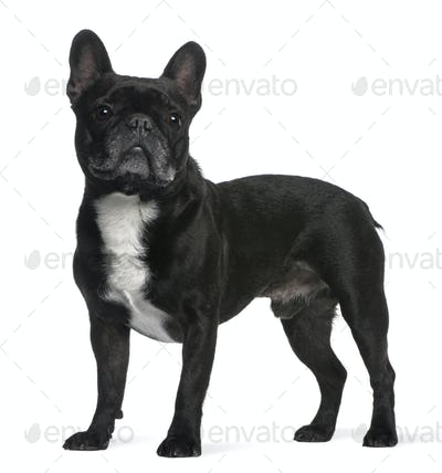 French Bulldog, 6 years old, standing in front of white background