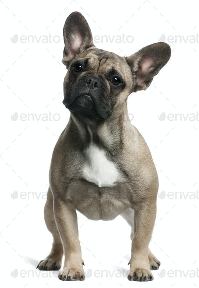French Bulldog puppy, 8 months old, standing in front of white background