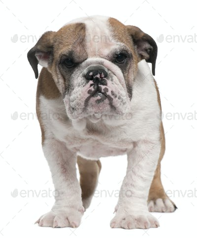 English Bulldog puppy, 4 months old, standing in front of white background
