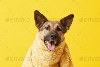 Dog covered in blanket